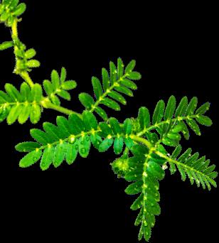 Xcore Zman leaf